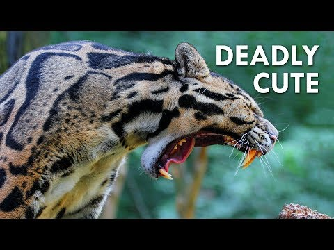 Clouded Leopards: Modern Day Saber-Tooths