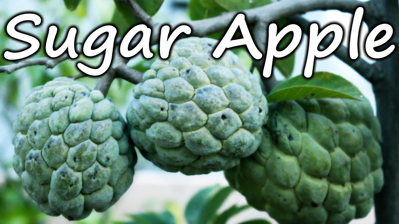 Growing Sugar Apple (Sweetsop) in a Container - Terrace Garden ...
