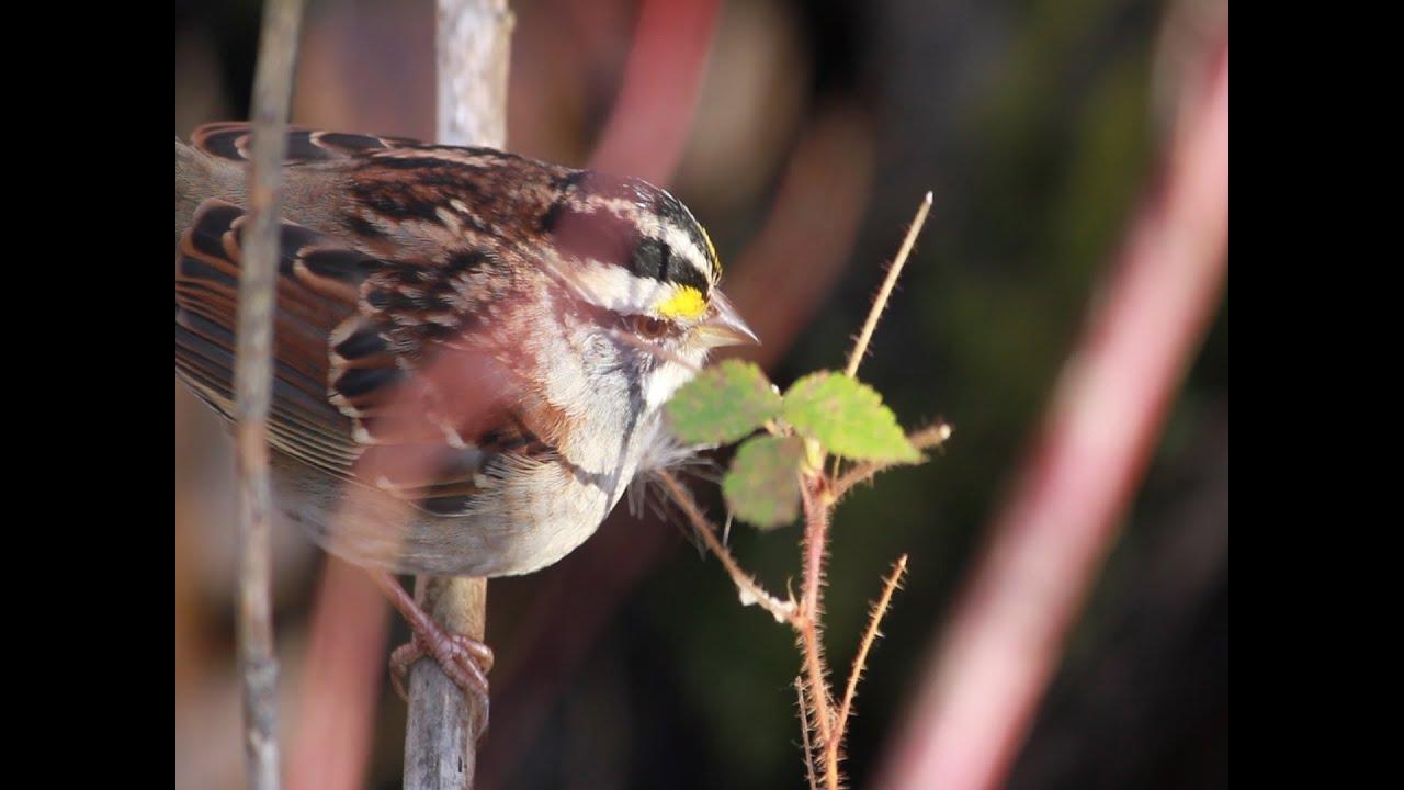 backyard birds edmonton youtube