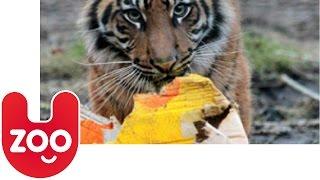 Sumatran Tigers Celebrate 1st Birthday at London Zoo