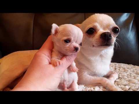 Micro Mini Me!  - Chihuahua