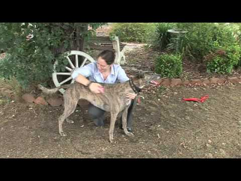 Taking Care of Your Greyhound