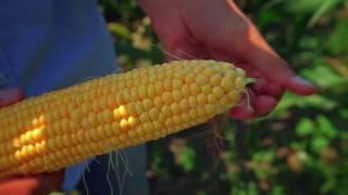Кукуруза Тести Дрим.  Семена Тести Дрим.  Сорт Тести Дрим  Обзор сахарной кукурузы Тести Дрим