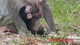 Baby monkey life at Angkor, Real life of baby monkey, Monkey Camp part 330 thumbnail