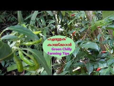 പച്ചമുളക് തഴച്ചു വളരാനും ധാരാളം കായ്കൾ ഉണ്ടാകാനുള്ള വഴി Green Chilly Farming Malayalam