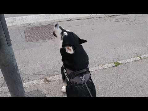 While waiting for a green light, Alaskan Malamute was howling in support of firefighters