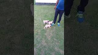 Pug puppies# sell in noida 7291877952