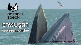 วาฬบรูด้า ยักษ์ใหญ่แห่งอ่าวไทย : Animals Speak [by Mahidol]