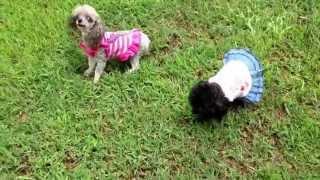 Teacup Poodles For Sale In Alabama
