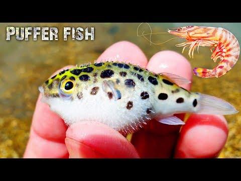 Cá nóc giành ăn siêu dễ thương 😂 (Feeding Puffer Fish)