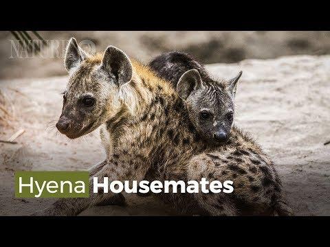 Hai Gia Đình Linh Cẩu Và Lợn Rừng Sống Chung Một Nhà