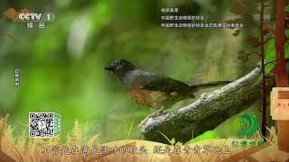 《秘境之眼》 白腰鹊鸲/褐胸山鹧鸪 20200119| CCTV