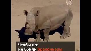 Умер последний самец северного носорога