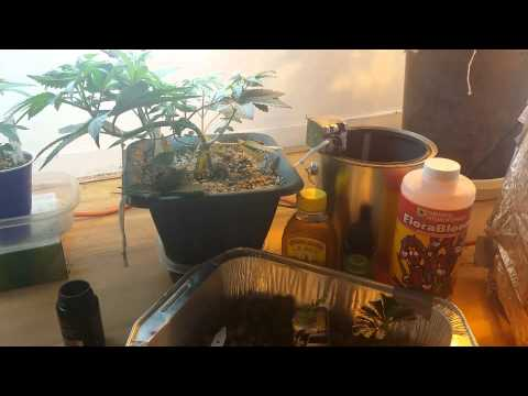 How to Grow Part 4, Mid to Late Veg.