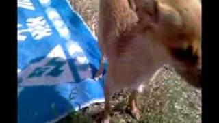 Собака породы Той Терьер купается и вытирается