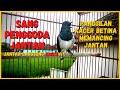 Suara Kacer Betina Memancing Kacer Jantan Agar Gacor Konslet Dijamin Langsung Emosi  Mp3 - Mp4 Download