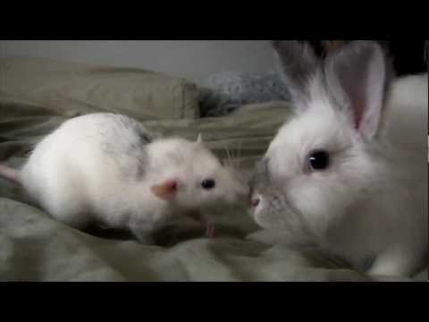 Ritva the Rat meets Steamy the Rabbit