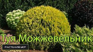 Почему желтеют Туя, Можжевельник, Кипарисовик в домашних условиях ? / хвойные растения(Хвойные (лат. Pinophyta или Coniferae) — один из 13—14 отделов царства растений, к которому относятся сосудистые расте..., 2015-04-14T07:56:44.000Z)