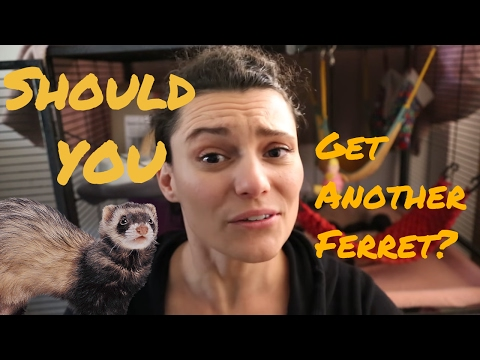 Should You Get Another Ferret?