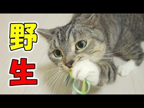 猫が野生化!トンボのおもちゃで遊ぶと本能剥き出しになる面白い猫