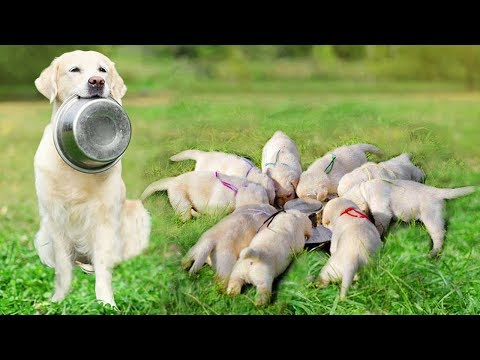 Mother Labrador Retriever has a funny time with her puppies- Cute Puppies Videos