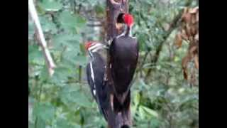 Two Pileated Woodpeckers On Woodpecker Feeder