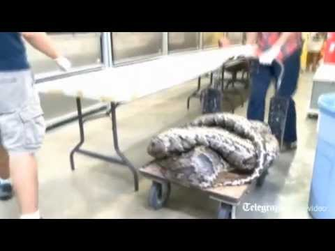 Largest ever Burmese python snake caught in Florida