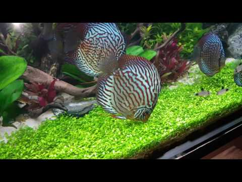 Co2 Planted Tank Aquarium With My Sweet Discus Fish 1080p