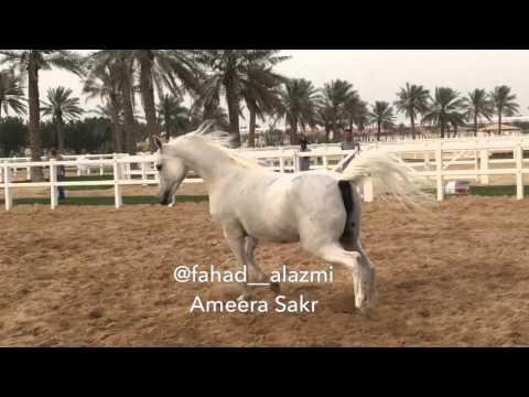 Ameera Sakr ... 2000  Owned by Al Waab Stud 🌳