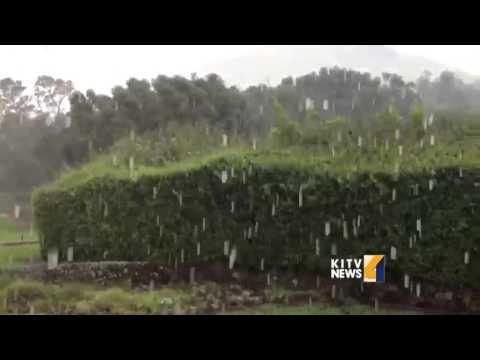 Kamuela downpour