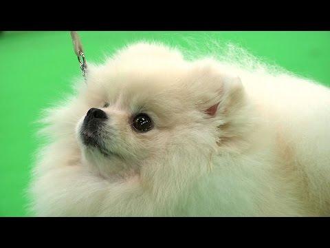 WELKS Dog Show - 2016 Toy group Shortlist