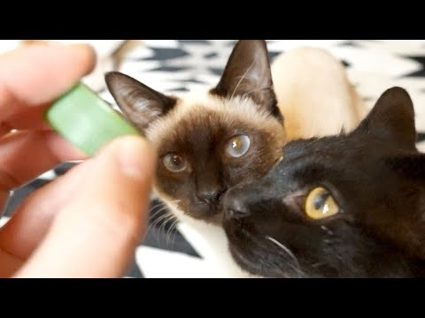 「とってこい」をする2匹の猫