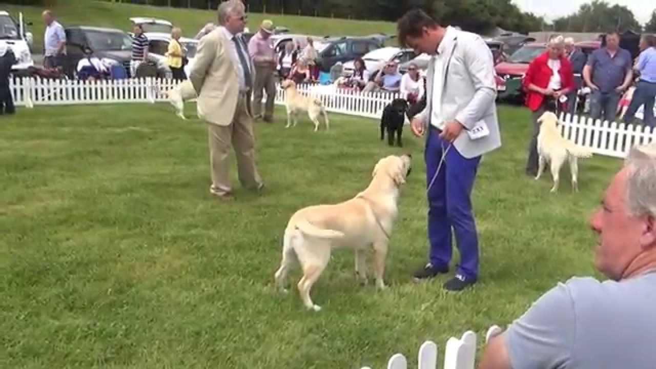 Labrador retriever championship show 2014