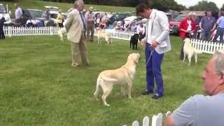 Labrador Retriever Club 2014 Dog Cc - Naiken Zephyr