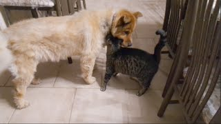 Cats Reaction to Being Reunited with Blind Dog