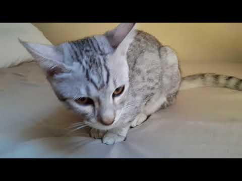Compilation video of Yusup,the Egyptian Mau Cat