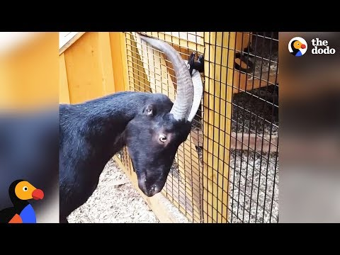Rescue Goat Lives To Create Drama - ANSEL THE DESTROYER | The Dodo