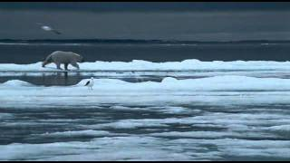 Osos Polares - Los Reyes del Artico