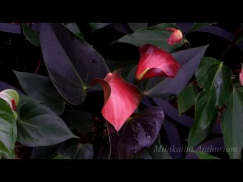 Rainbow Champion Anthurium