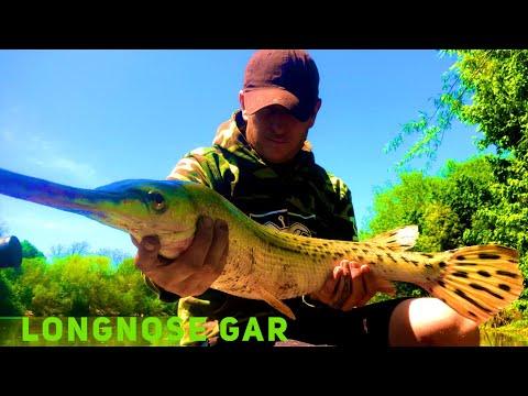 Longnose Gar And Spotted Gar Fishing 101