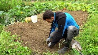 Jak sadzić maliny