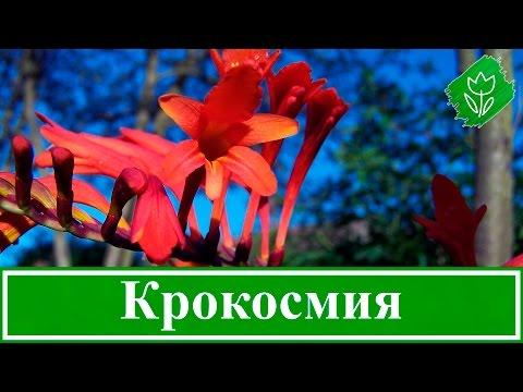 🌹 Цветок крокосмия (монтбреция) – посадка и уход в открытом грунте: выращивание из семян