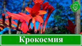 видео Эремурус в открытом грунте: фото, выращивание, посадка, уход