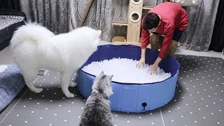 Can Samoyed Really Stand The Cold?