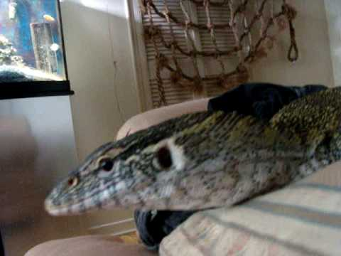 Pet Nile monitor - YouTube