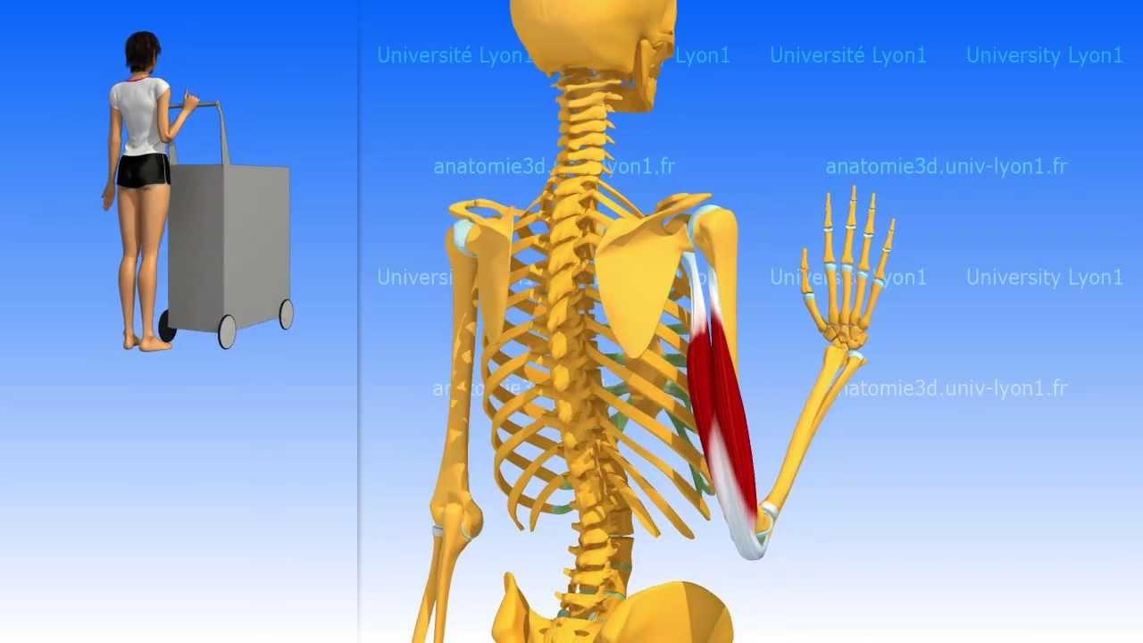 El tríceps braquial - YouTube