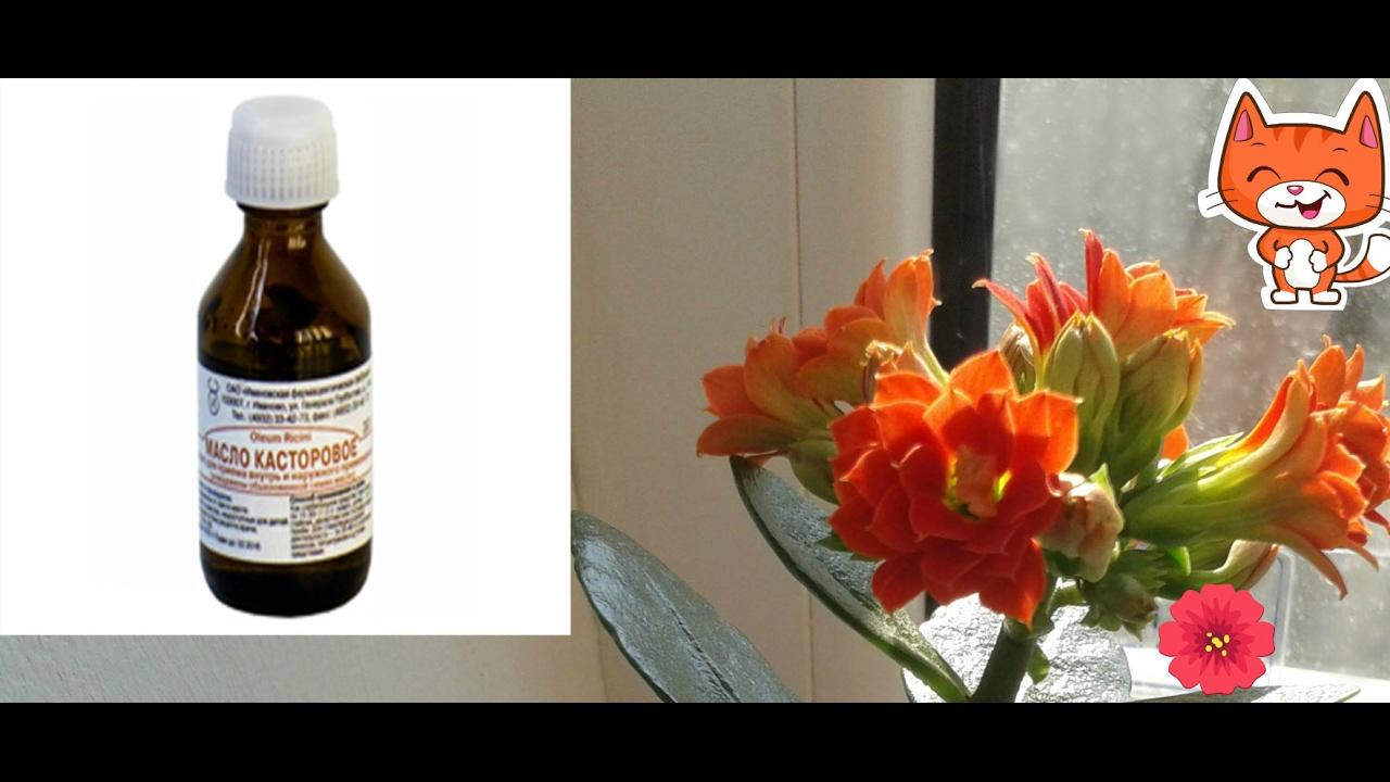 Подкормка касторовым маслом цветы