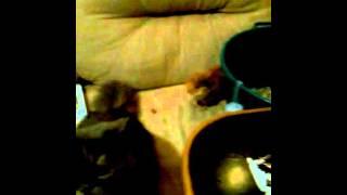 Морская  свинка против кота