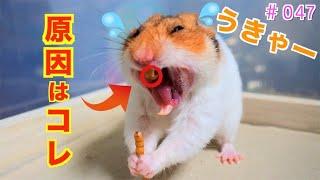 おもしろ可愛い癒しハムスター( ^ω^ )♪ Funny cute hamster ♪ 「今日の...