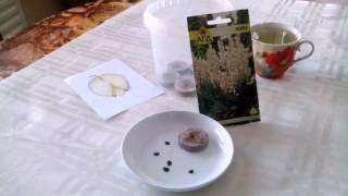 Размножение семенами многолетников. Юкка